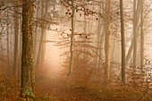 European beech forest on a foggy morning in November, Bavaria, Germany, Europe