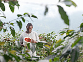Man picking coffee berries on coffee farm in the Blue Mountains, Jamaica.