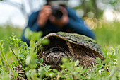 Turtle, photographer in background, Ontario, Canada