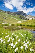 Cotton grass in bloom surrounding Pizzi dei Piani on path towards Baldiscio lakes, Valchiavenna, Vallespluga, Lombardy, Italy, Europe