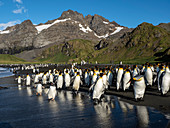 Adult gentoo penguins (Pygoscelis papua), on the beach with king penguins in Gold Harbor, South Georgia, Polar Regions