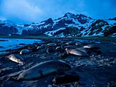 Pre-dawn light on elephant seals (Mirounga leoninar), at breeding beach in Gold Harbor, South Georgia, Polar Regions