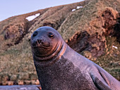 Southern elephant seal pup (Mirounga leoninar), on the beach at dawn in Gold Harbor, South Georgia, Polar Regions