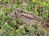 African savanna hare (Lepus victoriae), hiding in vegetation in Serengeti National Park, Tanzania, East Africa, Africa