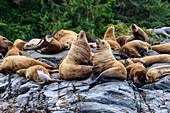 Steller sea lions (Eumetopias jubatus) on a rocky shore, Alert Bay, Inside Passage, British Columbia, Canada, North America