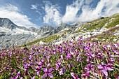 Flowers of Val Sissone Valmalenco, Valtellina, Sondrio Province, Lombardy, Italy, Europe