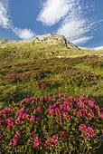 Blooming Rhododendron flowers, Spadolazzo piz, Montespluga, Madesimo, Sondrio province, Spluga valley, Lombardy, Italy, Europe