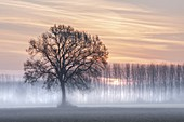 Turin province, Piedmont,Italy, Europe. Misty sunrise with oak tree
