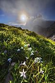 Edelweiss at sunrise at Seceda, Gruppo delle Odle, Dolomiti di Gardena, Bolzano, Trentino Alto Adige, Italy, Southern Europe