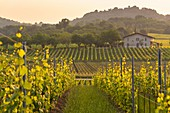 Golden hour into the vineyards of Franciacorta, Brescia province, Lombardy, Italy, Europe.