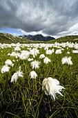 Storm clouds over fields of cotton grass in bloom, Pian dei Cavalli, Vallespluga, Valchiavenna, Valtellina, Lombardy, Italy