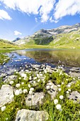 Blooming of cotton grass on shores of pristine Baldiscio lakes, Val Febbraro, Valchiavenna, Vallespluga, Lombardy, Italy