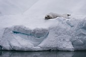 Crabeater seal (Lobodon carcinophaga) on the ice, Gerlache Strait, Antarctica.