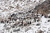 A gentoo penguins colony, Pygoscelis papua,  Neko Harbour, Antarctica.