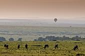 Baloon safari over Wildbeest migrating, Masai Mara National Reserve, Kenya.