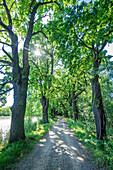 Oak alley in South Bohemia, Czech Republic
