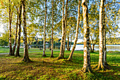 Birch trees on the south bank of the Vltava reservoir in South Bohemia, Czech Republic