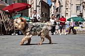 Small dog struts through old town, Pula, Istria, Croatia, Europe