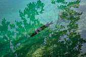 Forelle in klarem Wasser in einem Pool, Nationalpark Plitvicer Seen, Lika-Senj, Kroatien, Europa