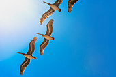 Brown Pelicans in flight, Laguna Beach, Orange County, California, USA, North America