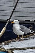 Seagull in the old port of Wismar, Germany