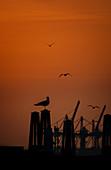 Seagulls at sunset in the Port of Hamburg, Hamburg, Germany