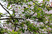Apfelbaumblüten im Frühling, Schöllkrippen, Kahlgrund, Spessart-Mainland, Franken, Bayern, Deutschland, Europa