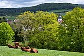 Cattle relax on meadow at the ecological farm Der Berghof, Schöllkrippen, Kahlgrund, Spessart-Mainland, Franconia, Bavaria, Germany, Europe