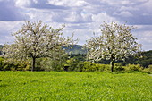 Apple trees in full bloom on a lush meadow in spring, Krombach Oberschur, Spessart-Mainland, Franconia, Bavaria, Germany, Europe