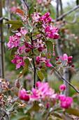 Fruit tree blossoms in spring, Krombach Oberschur, Spessart-Mainland, Franconia, Bavaria, Germany, Europe