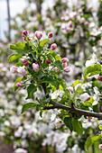 Apple tree blossoms in spring, Krombach Oberschur, Spessart-Mainland, Franconia, Bavaria, Germany, Europe