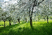 Apple trees in full bloom on a lush meadow in spring, Mömbris Niedersteinbach, Kahlgrund, Spessart-Mainland, Franconia, Bavaria, Germany, Europe
