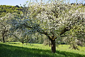 Apple trees in full bloom on a lush meadow in spring, near Reicholzheim, near Wertheim, Spessart-Mainland, Franconia, Baden-Wuerttemberg, Germany, Europe