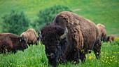 Bison on meadow at Hof Luisenhof, Eschau, Räuberland, Spessart-Mainland, Franconia, Bavaria, Germany
