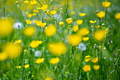Magnificent yellow buttercups in a lush meadow, Eschau, Räuberland, Spessart-Mainland, Franconia, Bavaria, Germany, Europe
