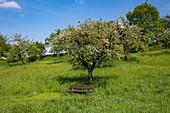 Park bench with apple tree behind it, Eschau, Räuberland, Spessart-Mainland, Franconia, Bavaria, Germany, Europe