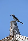 Ethiopia; Southern Nations Region; Hawassa Lake at Hawassa; black hornbill on a rooftop; belongs to the genus of tokos