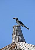 Ethiopia; Southern Nations Region; Hawassa Lake at Hawassa; black hornbill on a rooftop; belongs to the genus of tokos