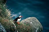 Puffin on cliff, Faroe Islands