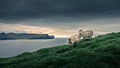 Sheep off the sea and coast of the Faroe Islands