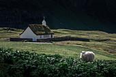 Sheep in front of church in Saksun village on Streymoy Island, Faroe Islands