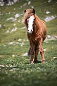 Horse in the meadow of the Faroe Islands in the sun
