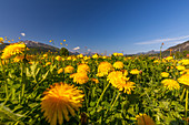Flower meadow in spring in Reiti m Winkl, Chiemgau, Bavaria, Germany
