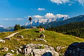 Grazing cows in the Almgebiet Winklmoos Alm in summer, Tyrol, Salzburg, Chiemgau, Bavaria, Germany