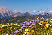 Blooming mountain flowers on the Eggenalm in spring with Wilder Kaiser, Tyrol, Austria, Kaiser Mountains