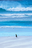 Gentoo Penguin (Pygocelis papua papua) walking on the beach, East Falkland, Falkland Islands, South America