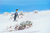King penguin (Aptenodytes patagonicus) walking through a sand storm, Volunteer Point, East Falkland, Falkland Islands,