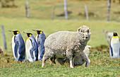 Sheep meeting King Penguins (Aptenodytes patagonicus), East Falkland, Falkland Islands, South America