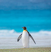 King penguin (Aptenodytes patagonicus) walking on the beach, East Falkland, Falkland Islands, South America