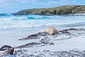 Südlicher Seeelefant (Mirounga leonina), Weibchen, das auf einem Sandstrand ruht, Seelöweninsel, Falklandinseln, Südamerika